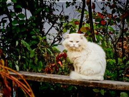 Big white cat by Kittengrapher
