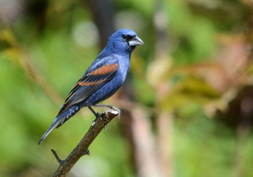 Blue Grosbeak - Posing by TimotheusP
