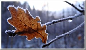 Oak leaf... by Yancis