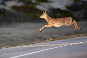 Whitetail-Jump by JestePhotography