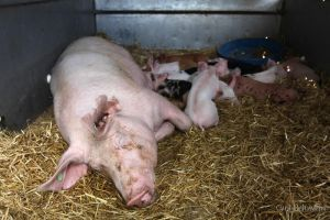 sow with piglets by Cyril-Helnwein