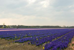 Flowering hyacinth fields 6 by steppelandstock