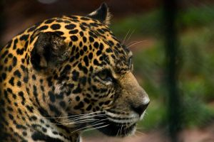 Posing Jaguar by ssabbath