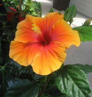 Hawaii Hibiscus Flower by GreenEyezz-stock