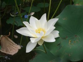 lotus 1.1 by meihua-stock