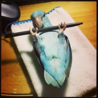 Birdie weight lifting by Shulky