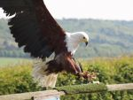 Bird of Prey 4 by pduffill