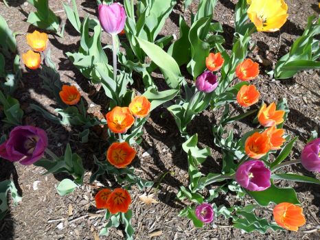 More Tulips in Ottawa by alphaboy202