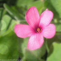 Tiny pink flower by FrancescaDelfino