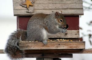 Grey Squirrel 2 by JewelsStock