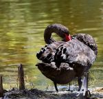 Black Swan Itch by MayEbony