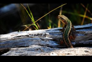 Chilean Lizard 3 by magoscuro