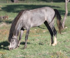 Blue Roan Colt by How-You-Remind-Me