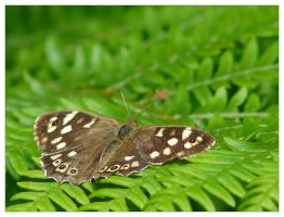 Speckled Wood by Bogbrush