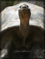 Galapagos Tortoise 40D0017071 by Cristian-M