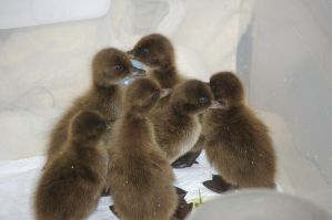 Ducklings 6 by Silver-she-wolf-14