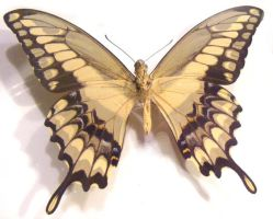 moths and butterflies stock118 by hatestock