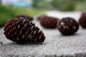 ..Pine::Cones.. by AshleyLeePhotography