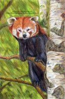 December - Red Panda by 8TwilightAngel8