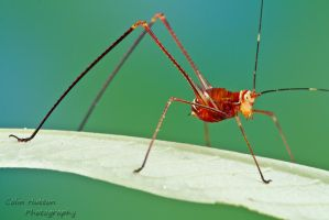 Harvestman-mimicking katydid by ColinHuttonPhoto