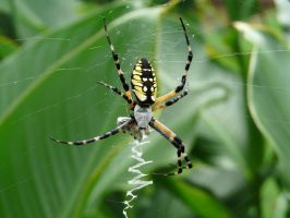 ,,,Argiope.,,,,.7legged by duggiehoo