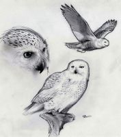 Snowy Owl by RobtheDoodler