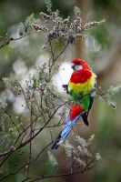 Eastern Rosella on Tea Tree Bush #1 by Simon-Hunt