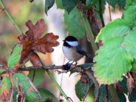 Chestnut-backed Chickadee by davecbend