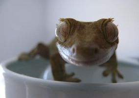 Gecko on White by Jerbob