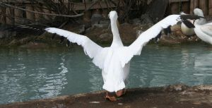 Tautphaus Zoo 19 Pelican by Falln-Stock