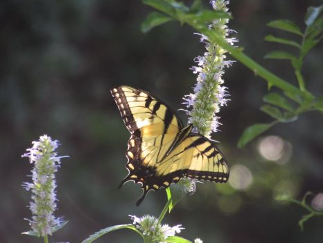 Beautiful Yellow and Black Butterfly by adenisej25