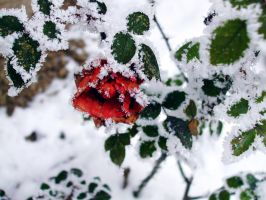 Rose in winter by Zsurzsi