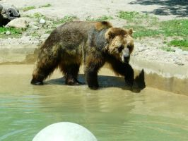 Grizzly Bear 08 by Unseelie-Stock