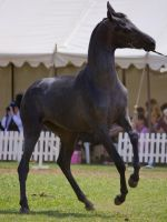 STOCK - TotR Arabians 2013-525 by fillyrox