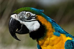 Golden Blue Macaw by King-Dolphin