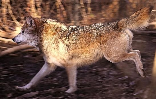 Mexican Wolf Stock 27: Running by HOTNStock