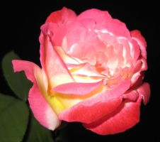 Rose 052115 06 by acurmudgeon