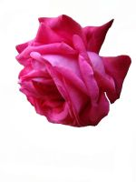 Pink rose II by babsartcreations