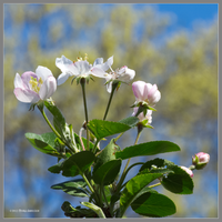Apple blossoms by Mogrianne