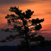 jack pine sunset by GreyVolk
