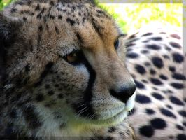 Cheetah close-up by AzureHowlShilach