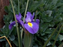 Japanese Iris by CKNelson