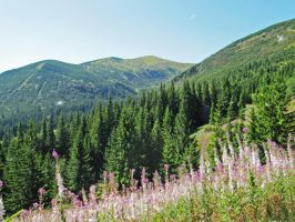 Carpathian Mountains, Fluffy Ivan-chay by Laoru