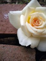 White Rose and bricks by kacibizarre
