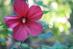PINK HIBISCUS I by zraclooc