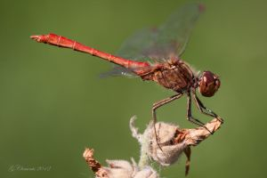 Southern Darter by MacGeizer