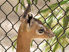 Baby Gerenuk face by photographyflower