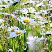 .: daisies :. by all17
