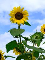 sunflowers by clandestine-stock