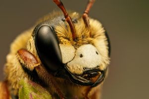 Solitary Bee on Mint V by dalantech